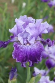 'Life Song Sings' captures Robert Van Liere's passion for creating new iris cultivars. Photo courtesy of Robert Van Liere.