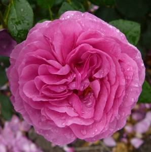The bright magenta bloom of Rosa 'Kaffe Fassett'. Photo: Eurosa. Image courtesy of Abrams/STC Crafts/Melanie Falick Books.