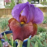 'Brash and Bold,' a Bearded iris by Paul Black of Mid-America Gardens. Photo: Benita Green Lee