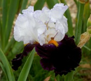 'Domino Noir' by Richard Cayeux. Photo courtesy of Cayeux Iris.