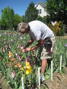 Robert Van Liere working in his field of iris seedlings. Photo: Benita Green Lee