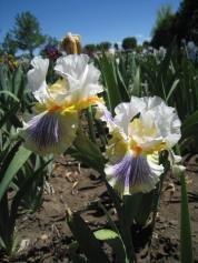 Hybridizer Robert Van Liere grows 'Expose' by iris breeder Joe Ghio, in his garden. Van Liere uses the irises of other hybridizers as parents in his breeding program. Photo: Benita Green Lee