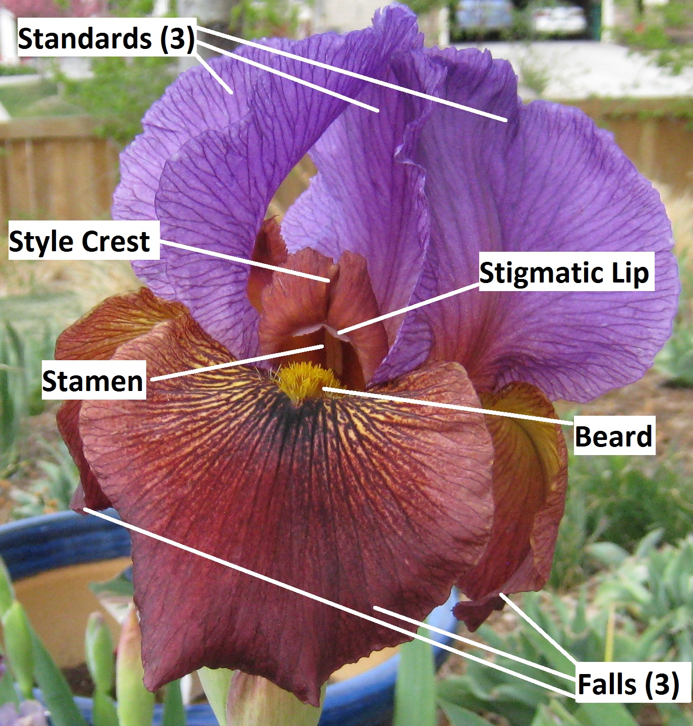 Diagram Of An Iris Best Secret Wiring White Blood Cell Labeled Images Pictures Becuo Ovary Anatomy Tonsil Elsavadorla Flower Eye
