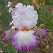 "Tall Bearded iris introduction, 'Ravissant,' by Richard Cayeux. The French name means ""charming."" Photo courtesy of Cayeux Iris."