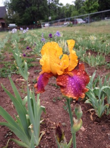 A blooming iris in Long's Gardens of Boulder, Colorado, beckons with its vibrant colors.