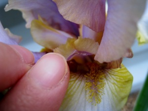 "Pollen clings to the sticky ""stigmatic lip."""