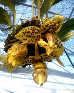 A Stanhopea orchid bloom dangles from its hanging basket at Hamilton Orchids in Marin County, California. Photo Courtesy of Crisler Hamilton.