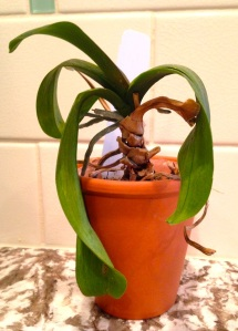 Droopy leaves do not bode well. Instead of a dull, dark-green, orchid leaves should be shiny and Irish-green. Photo: Benita Green Lee