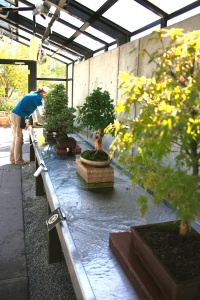 Bonsai are lined up for admiring visitors. Photo courtesy of the Denver Botanic Gardens