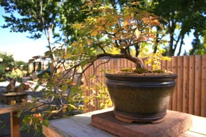 A deciduous bonsai's leaves begin to change to autumn colors. Photo courtesy of the Denver Botanic Gardens