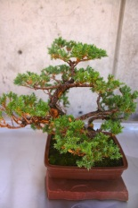 A miniature pine tree on display at the Bill Hosokawa Bonsai Pavilion. Photo courtesy of Denver Botanic Gardens