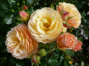 'Rebecca Mary' rose by Dickson Roses.