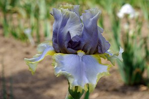 'Birds of a Feather' by iris breeder John McMillen. Image courtesy of Trails End Iris Gardens.