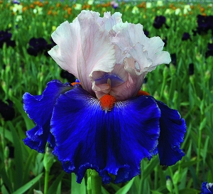 'Dating A Royal.' Image courtesy of Schreiner's Iris Gardens.