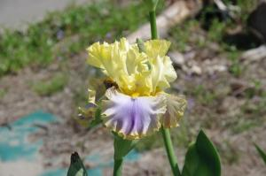 Seedling 3 by Tohru Mamiya. Image courtesy of the iris breeder.
