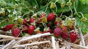In France, 'Reine des Vallees' (Queen of the Valley) is the standard in Europe for alpine strawberries, according to Michael Wellik. Image courtesy of Michael Wellik.
